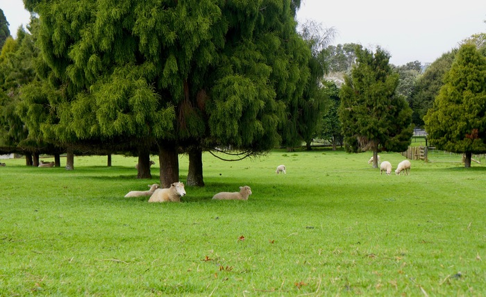 А ведь где-то сейчас весна... Новая зеландия, Весна, Баран, Сакура, Глициния, Зелень, Парк, Длиннопост