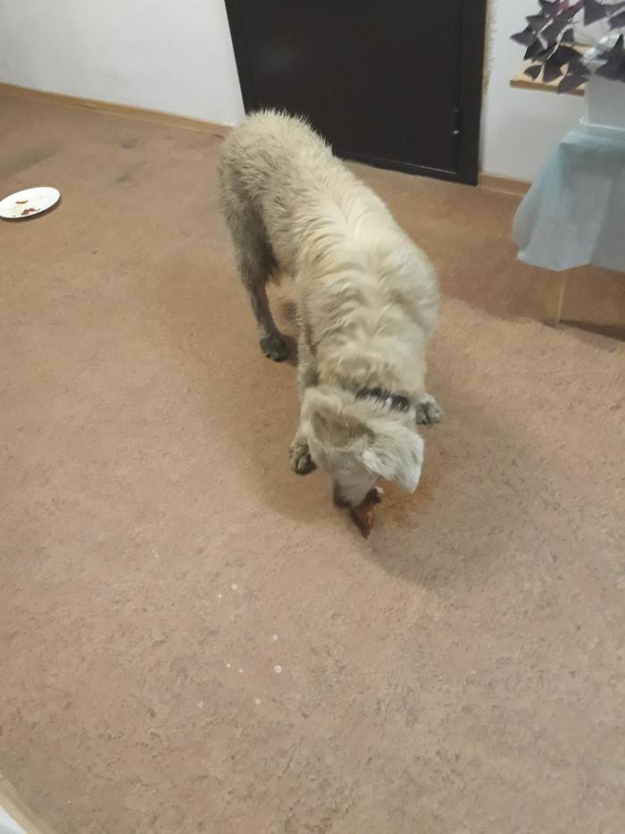 Большой Исток (Екатеринбург): найден лабрадор Найдена собака, Екатеринбург, Лабрадор, Длиннопост