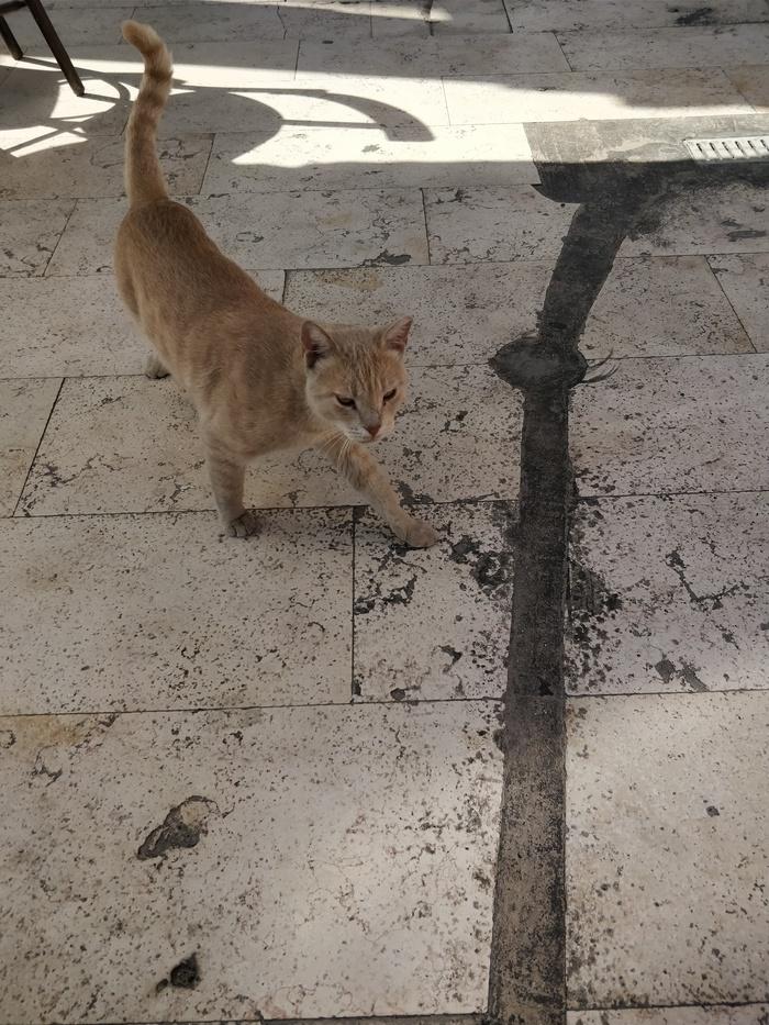 Кот, похожий на пуму Кот, Улица, Хищник, Длиннопост