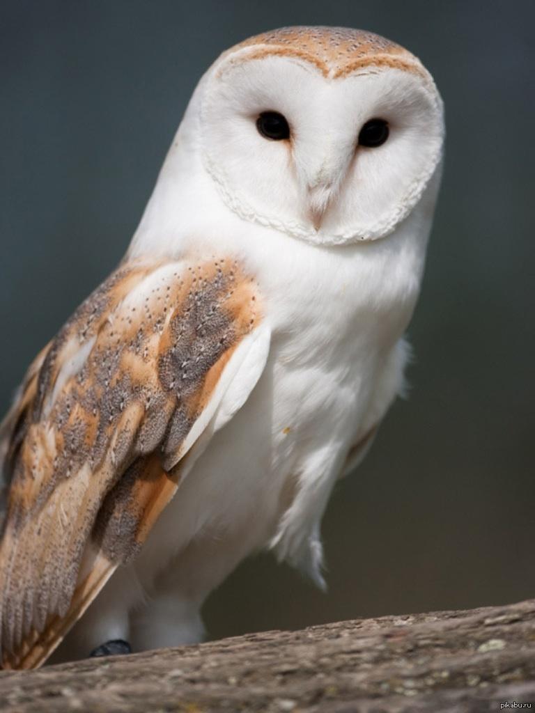 картинки изображение совы