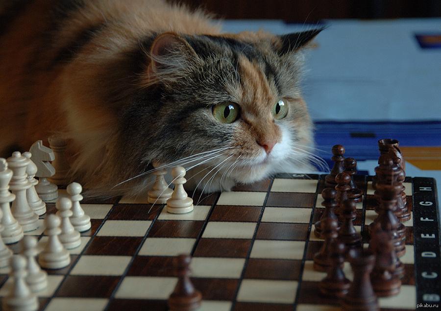 Шахматы смешная картинка