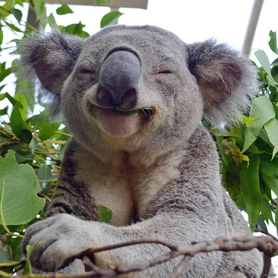 Картинки по запросу коала