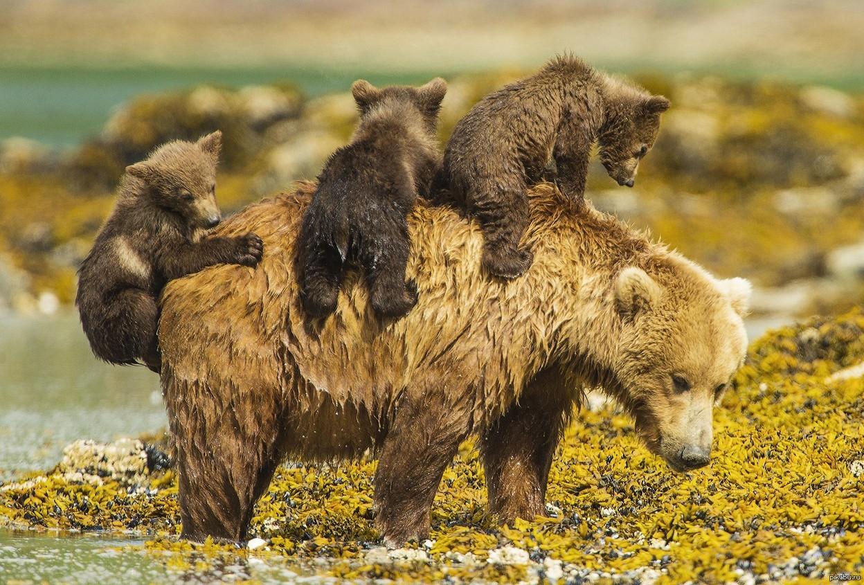 лиственных смешанных картинки медведица и три медвежонка много
