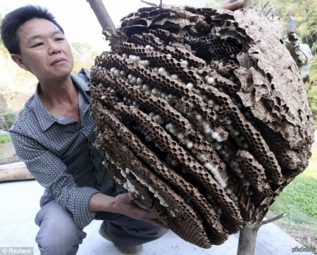 chinese giant wasp
