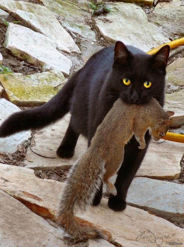 весьма прост фото черная кошка с мышкой в зубах занимает седьмое