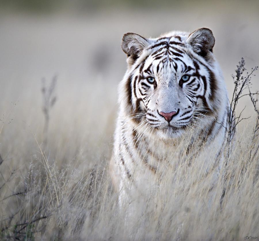 белый тигр скачать торрент