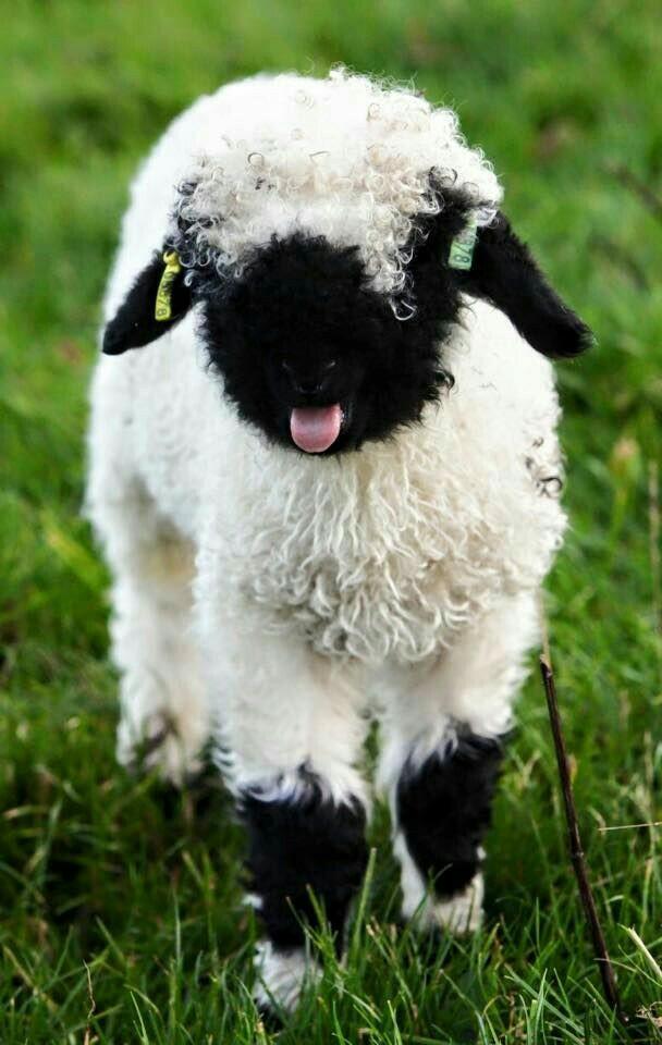 Валисские черноносые овцы | Пикабу