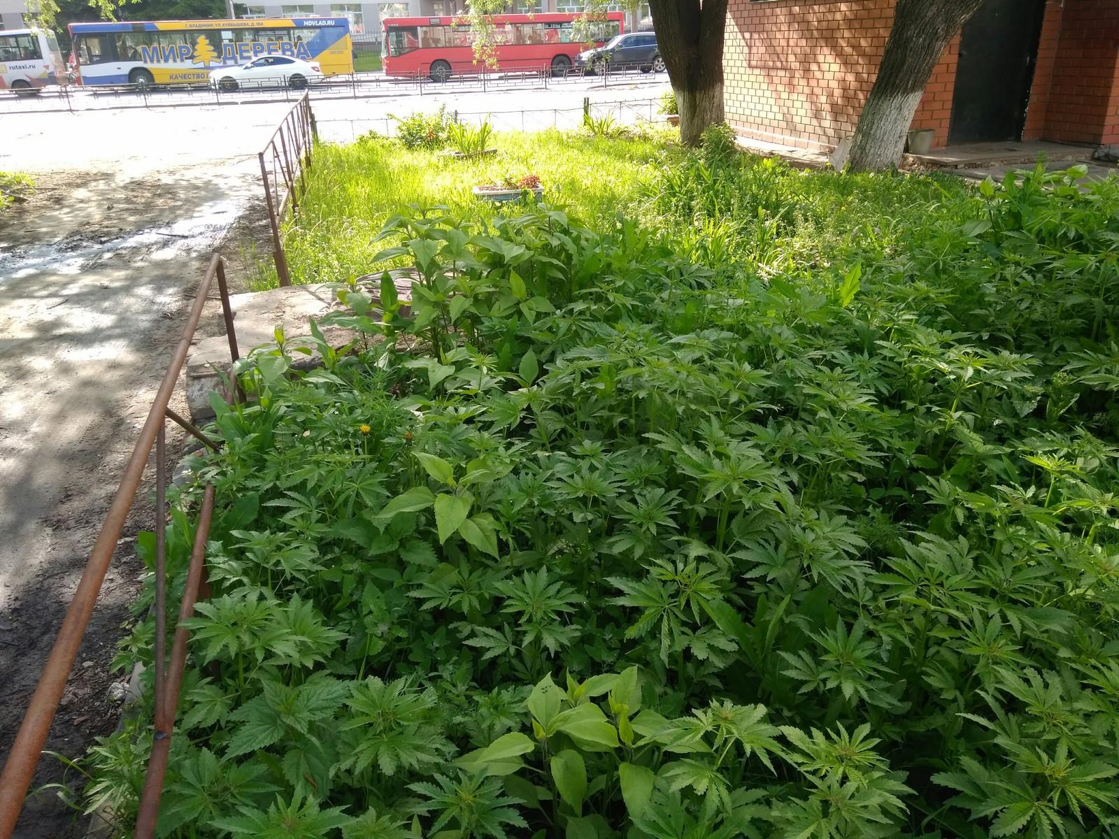 Каша из дикой конопли полиция нашла теплицу с марихуаной