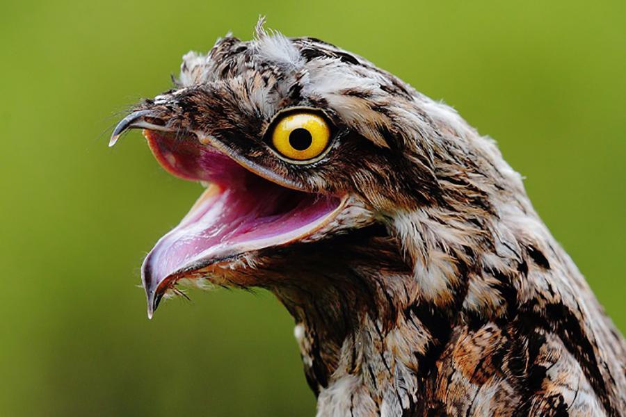 козодой птица пение