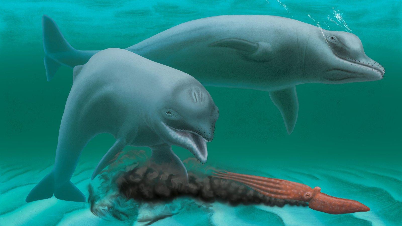 Эрегированный пенис дельфина