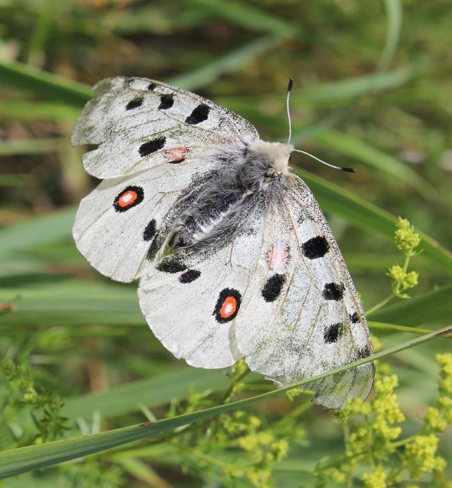 Бабочка названая в честь древнегреческого бога