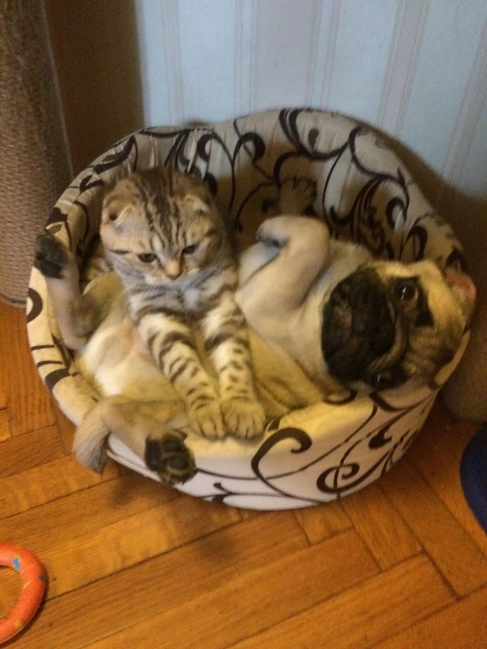 Кот с собакой домашнее