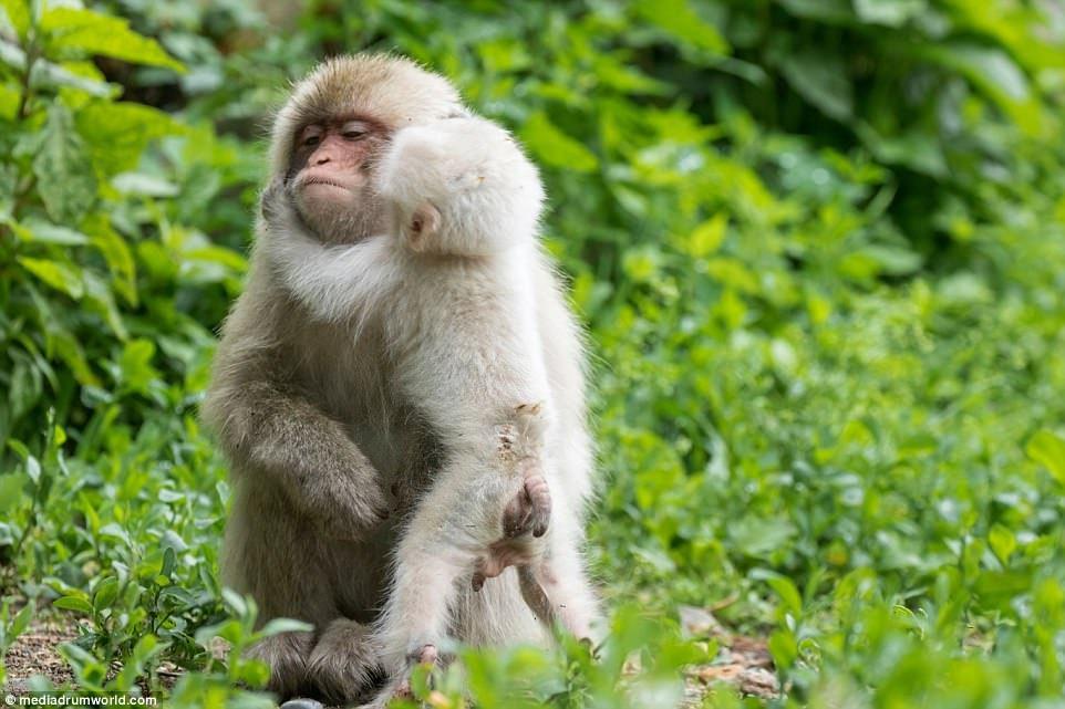 Член у обезьян