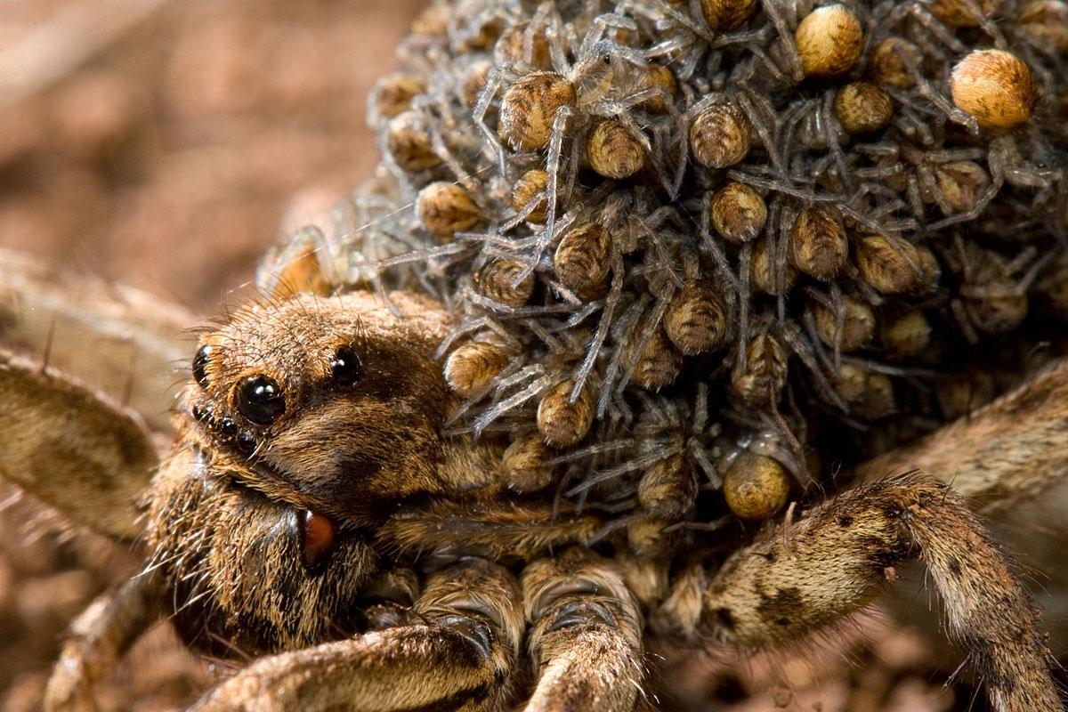 как выглядит паук тарантул фото