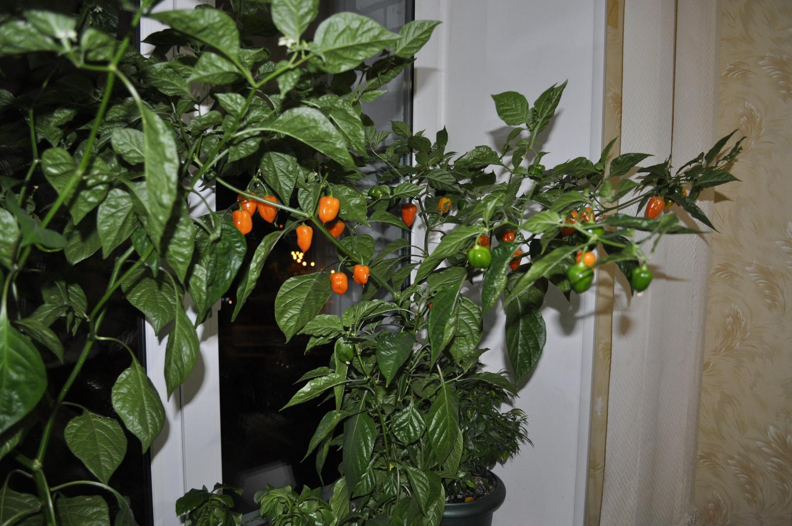 перец хабанеро выращивание